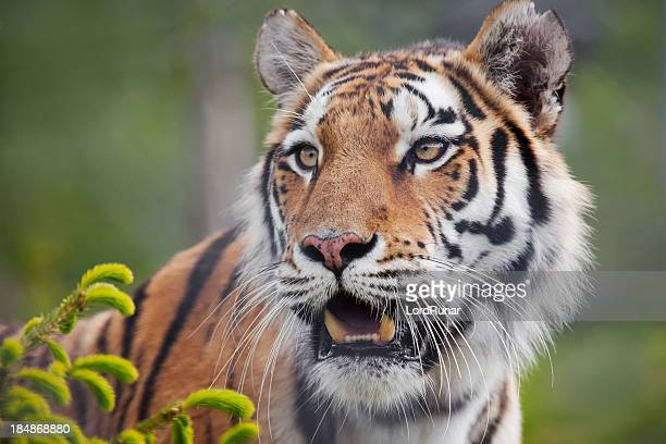 amur tiger - siberian tiger stock pictures, royalty-free photos & images