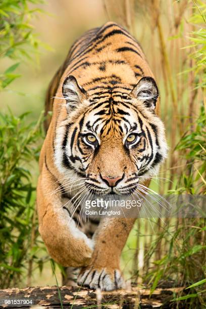 amur tiger - tiger stock pictures, royalty-free photos & images