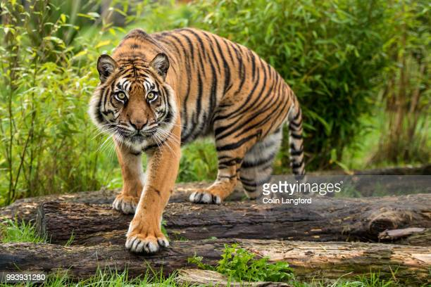 amur tiger - bengal tiger stock pictures, royalty-free photos & images