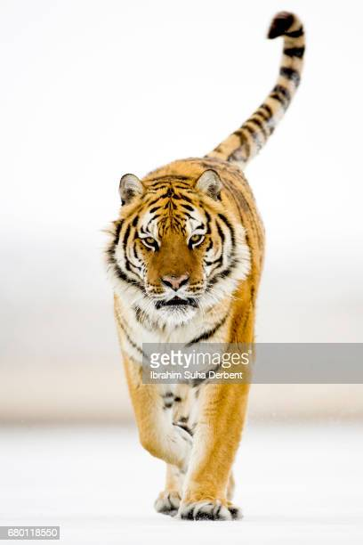 Amur tiger walking proudly on the ice and looking to the camera