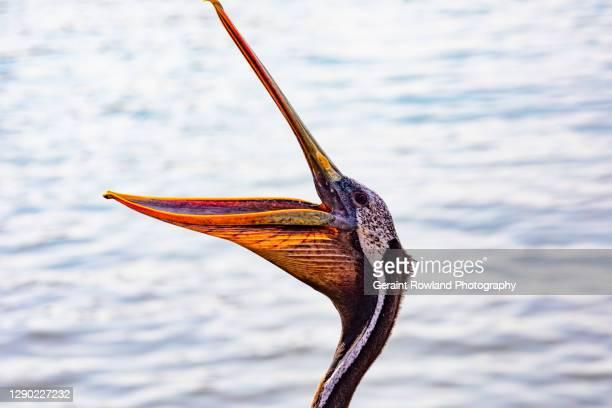 amusing pelican portrait - beak stock pictures, royalty-free photos & images