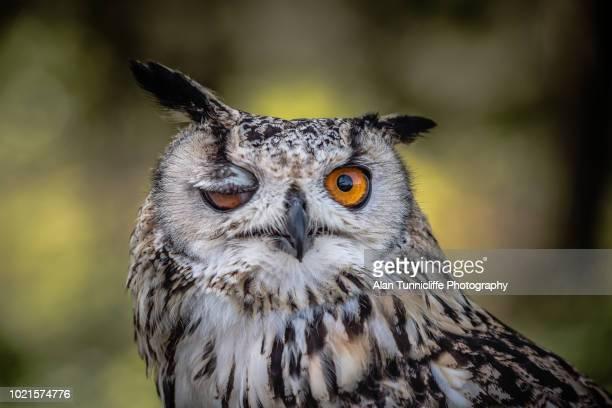 amusing winking owl - animal photos et images de collection