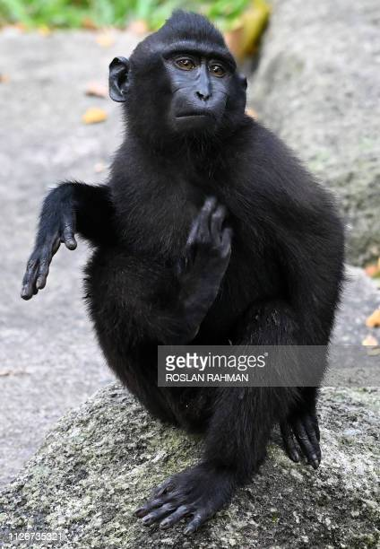 An 11monthold Celebes crested macaque is seen inside an esclosure at the Singapore Zoo on February 22 2019 The Singapore Zoo presented the baby...