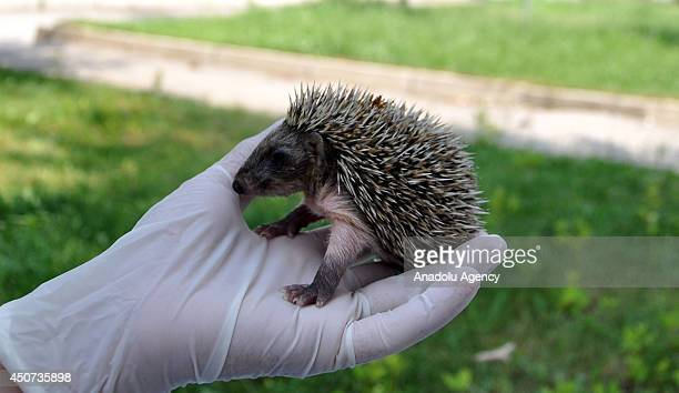 An 18dayold porcupine cub has been taken to the Wildlife Protection and Rehabilitation Center in Bursa for its treatment after lost its mother in...