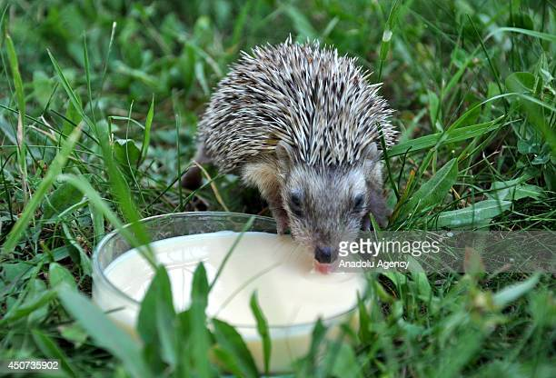 An 18dayold porcupine cub taken to the Wildlife Protection and Rehabilitation Center in Bursa for its treatment after lost its mother is fed with...