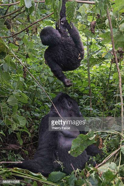 An 18-year old female mountain gorilla plays with her cub in the jungle of the Virunga National Park. The primate shares 98% of its DNA with the...