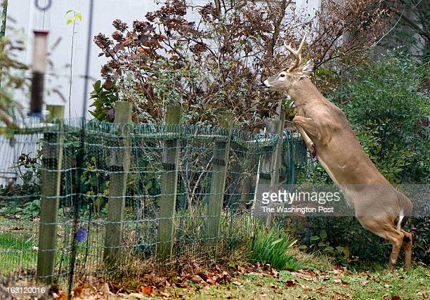 An 8point whitetail buck jumps into the back yard of a home in the Bay Ridge housing community in Annapolis MD on November 21 2011 As early as...