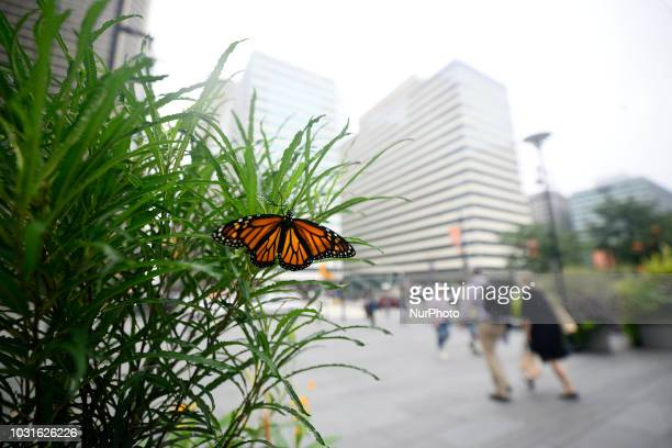 An a southbound journey a monarch butterfly finds a spot to rest at planter located at Dilworth Park in Philadelphia PA on September 11 2018