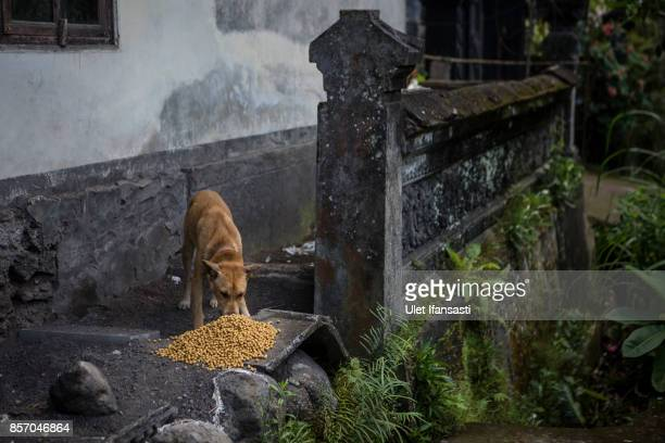 An abandoned dog is feeding at North Duda village on October 3 2017 in Karangasem regency Island of Bali Indonesia Nearly 145000 Indonesian villagers...