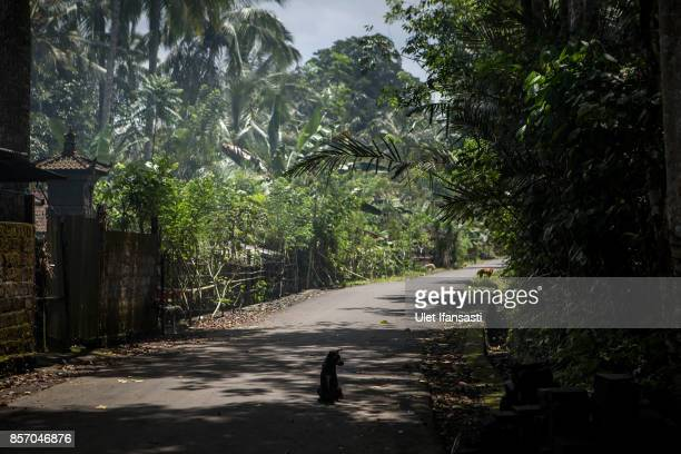 An abandoned dog is seen at North Duda village on October 3 2017 in Karangasem regency Island of Bali Indonesia Nearly 145000 Indonesian villagers...