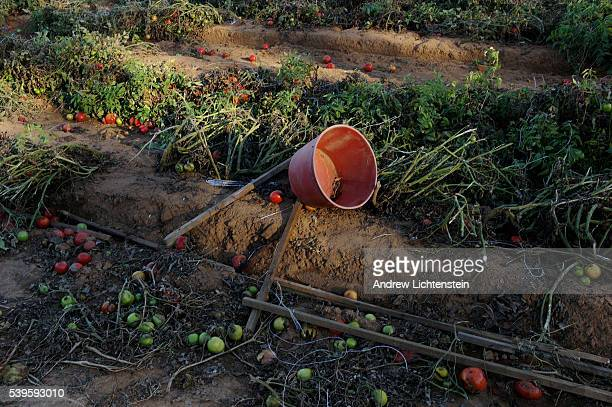 An abandoned harvest bucket lies in the field with rotting tomatoes which were not picked this year On the Jenkins farm on Chandler Mountain about 50...