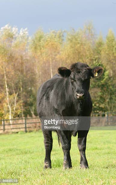 An Aberdeen Angus beef cow stands in a field in Northants UK Monday October 9 2006