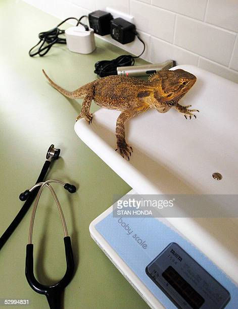THE JUNGLE BOOK MEETS ER IN NEW YORK CLINIC An abscess on the leg of Tucker a leopard gecko is cleaned at the Center for Avian Exotic Medicine 26 May...