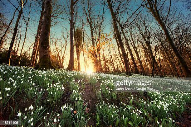 An Abundance Of Snowdrops (Galanthus) On The Forest Floor At Sunset