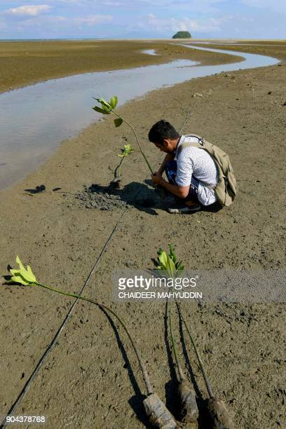 An Acehnese environmental activist plants mangrove trees at Banda Aceh beach in Aceh province on January 13 2018 / AFP PHOTO / CHAIDEER MAHYUDDIN