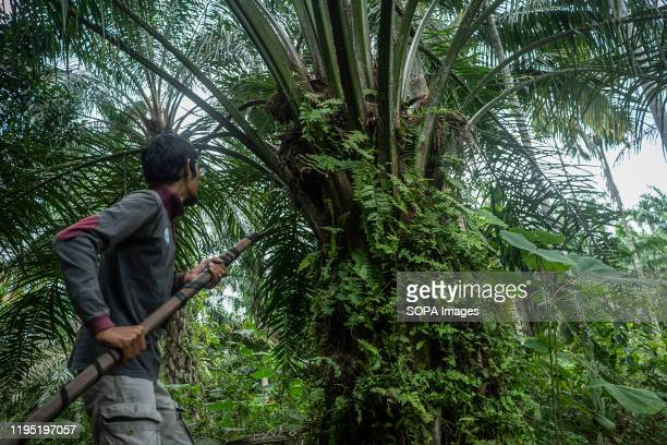 An Acehnese worker harvests palm oil fruits at a palm oil plantation area in Kuta Makmur, North Aceh Regency. After two consecutive years of...