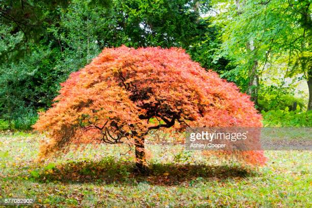 an acer in howick hall gardens, northumberland, uk. - japanese maple stock pictures, royalty-free photos & images