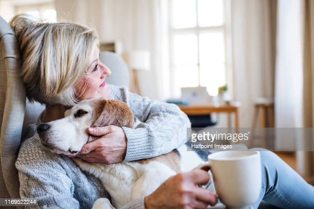 an active senior woman with a dog at home, resting. - one senior woman only stock pictures, royalty-free photos & images