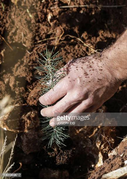 An activist from Lebanese NGO Jouzour Loubnan digs to plant young a cedar on the slopes of the Jaj Cedar Reserve Forest in the Lebanon mountains...