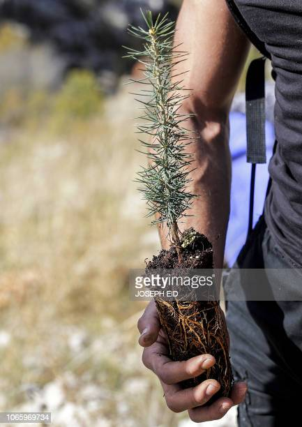 An activist from Lebanese NGO Jouzour Loubnan holds in his hand young a cedar to be planted on the slopes of the Jaj Cedar Reserve Forest in the...