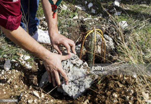 An activist from Lebanese NGO Jouzour Loubnan lays out rocks next to a newlyplanted young cedar that is surrounded by a cage for protection from...