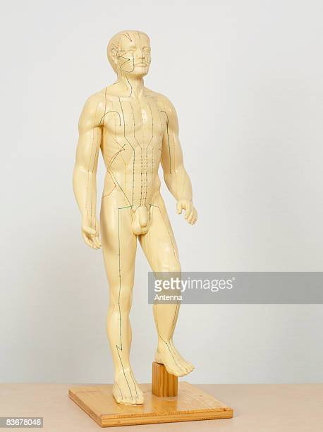 An acupuncture anatomical model