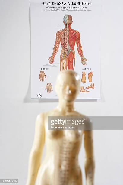An acupuncture model and diagram.
