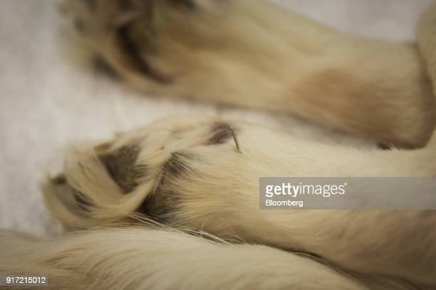 An acupuncture needle is inserted near a dog's paw at the GuoGuo TCM Neurology and Acupuncture Animal Health Center in Shanghai China on Saturday Feb...