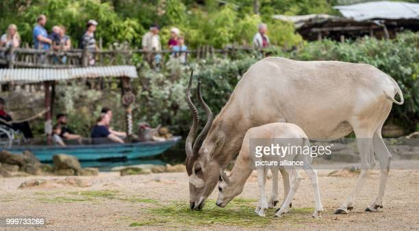 An addax also known as white antelope stands in her enclosure with her offspring at the zoo in Hanover Germany 16 August 2017 Only six Addax were...