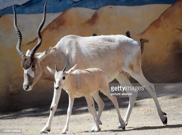 An addax antelope and its baby walk through their enclosure at the zoo in Hanover Germany 05 August 2015 Addax antelopes also known as screwhorn...