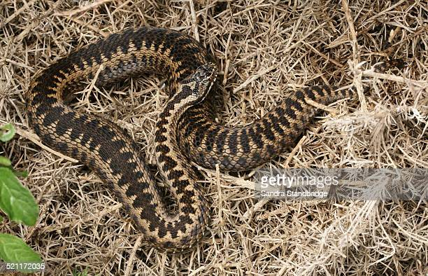 An Adder warming up in the sun