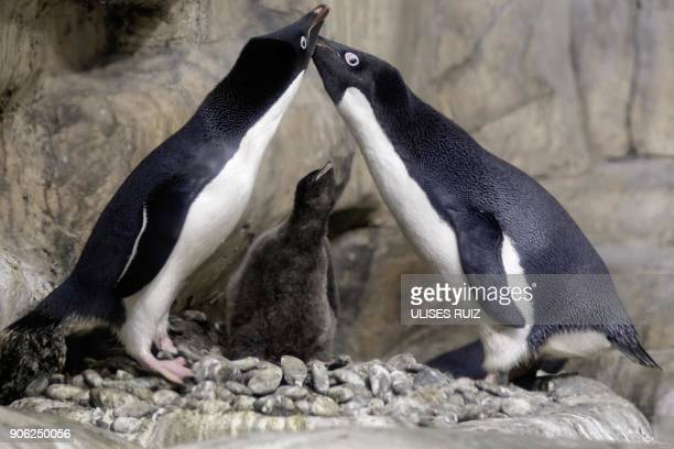 TOPSHOT An Adelie Penguin chick less than a month old is protected by its parents while remaining in a recreated antarctic environment in the zoo of...