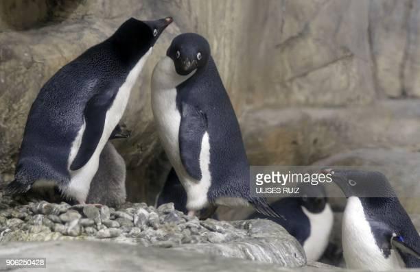 An Adelie Penguin chick less than a month old, is protected by its parents while remaining in a recreated antarctic environment in the zoo of...