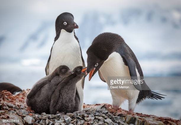 an adelie penguin feeding chicks in antarctica. - adelie penguin stock pictures, royalty-free photos & images