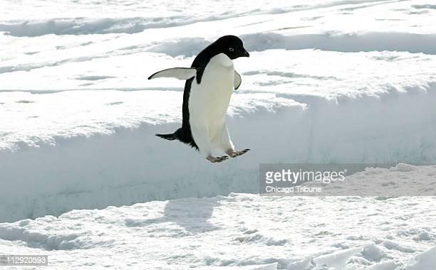 An Adelie penguin leaps a crack in the sea ice off the penguin colony at Cape Royds on Ross Island Antarctica December 13 2006 Researchers say rising...