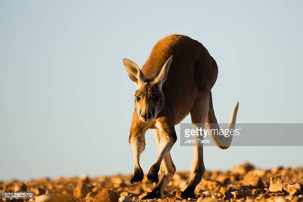 An adolescent male red kangaroo hopping and approaching