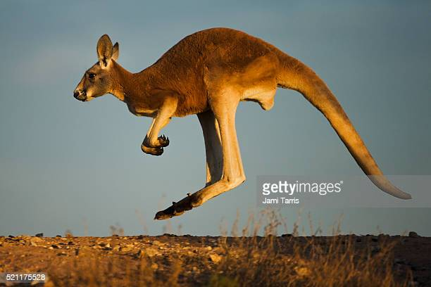 an adolescent male red kangaroo hopping - kangaroo stock pictures, royalty-free photos & images