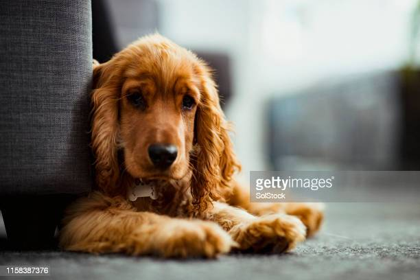 an adorable cocker spaniel puppy - cocker spaniel stock photos and pictures