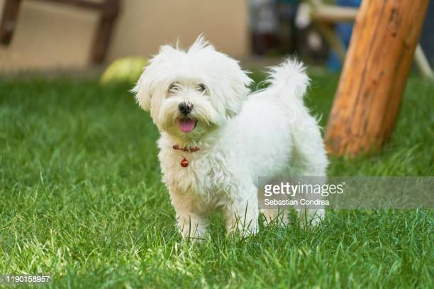 an adorable portrait of a havanese maltese puppy on green grass in a vibrant summer backyard. - maltese dog stock pictures, royalty-free photos & images