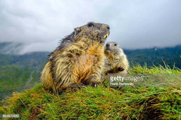 HEILIGENBLUT CARINTHIA AUSTRIA An adult and a baby Alpine marmot are sitting on a mountain slope at KaiserFranzJosefsHöhe
