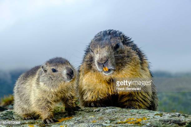 HEILIGENBLUT CARINTHIA AUSTRIA An adult and a baby Alpine marmot are sitting on a rock at KaiserFranzJosefsHöhe