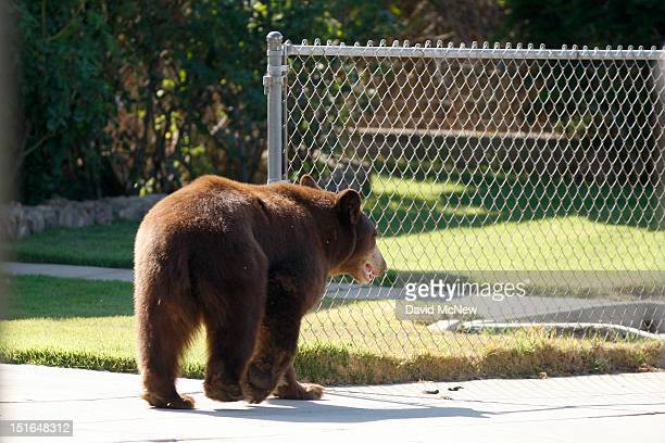 An adult black bear walks through a residential neighborhood on September 9 2012 in Montrose California The bear was first seen walking on the 210...