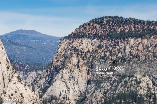 an adult california condor in flight on angel's landing trail in zion national park, utah, united states of america, north america - california condor stock photos and pictures