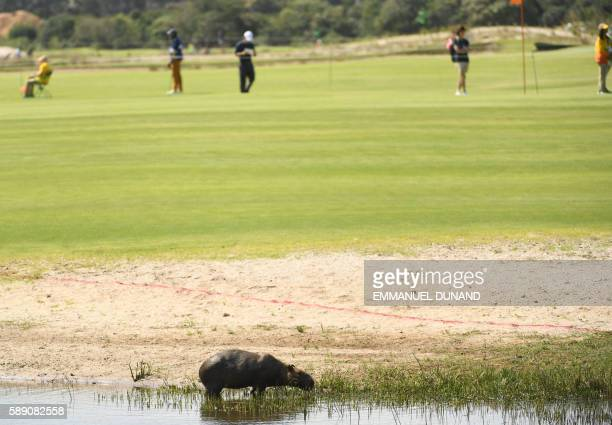 An adult Capybara is seen as golfers compete in the men's individual stroke play at the Olympic Golf course during the Rio 2016 Olympic Games in Rio...