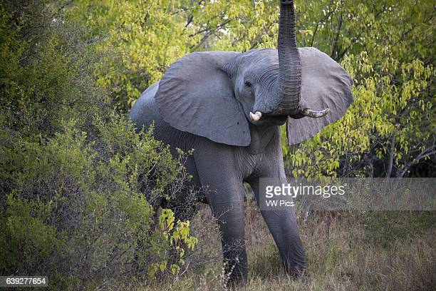 An adult elephant with her __calf near Camp Khwai River Lodge by Orient Express in Botswana within the Moremi Game Reserve Wild Killing an elephant...