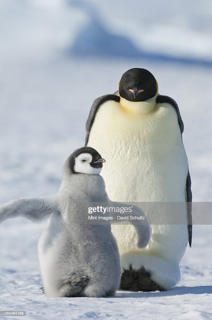 An adult Emperor penguin and a smaller fluffy penguin chick spreading its flippers out. : Stock Photo