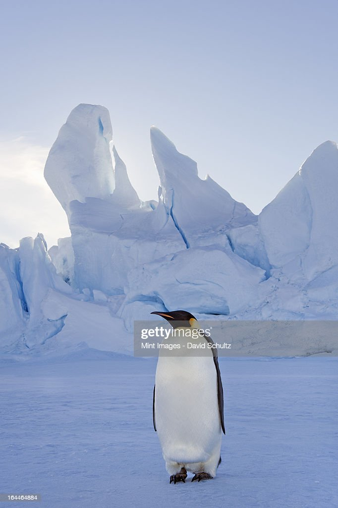 An adult Emperor penguin standing on the ice in shadow, with head turned sideways, on Snow Hill island in the Weddell Sea.  : Stock Photo