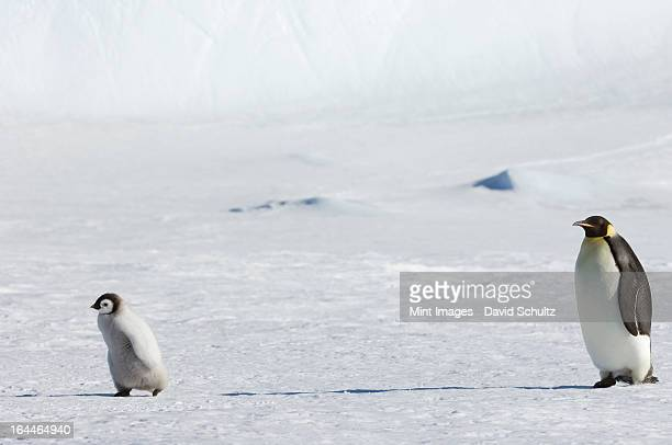 an adult emperor penguin watching over a baby chick on the ice on snow hill island. - emperor penguin chick stock pictures, royalty-free photos & images