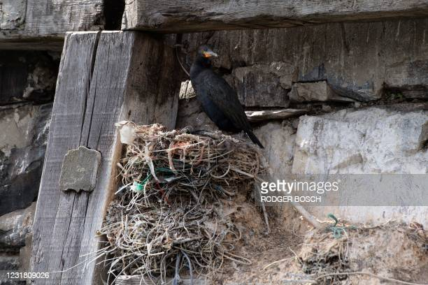 An adult endangered Cape Cormorant sits on its nest of string, plastic, fishing-line and other refuse in Cape Town Harbour, in Cape Town, on March...