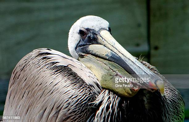 An adult female brown pelican recuperates in an aviary after she was found with her pouch lacerated last week in Long Beach on April 23 2014 at the...